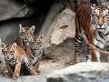 Tiger sundský
