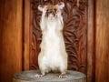 Africký potkan menom Magawa,