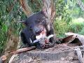 Diabol tasmánsky