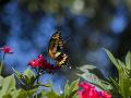 Motýľ Papilio cresphontes