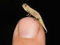 Na Madagaskare objavili najmenšieho