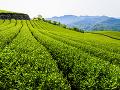 Čajová plantáž na Taiwane