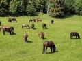 Na snímke kone plemena