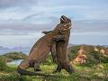 Komodské draky