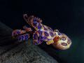 Smrteľne jedovatá chobotnica