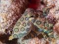 Chobotnica z rodu Hapalochlaena