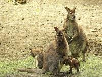 Mláďa kengury červenokrkej
