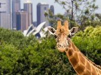 Žirafa a Opera. Zaujímavé