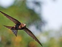 Dážďovníky - tajomné vtáky trávia celý život vo vzduchu, za letu lovia, pijú aj spia