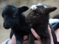 Mláďa ovečky ouessantskej
