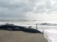 Veľrybu zabili plasty, našli