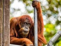 Najstarší známy orangutan sumatriansky