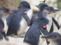 Tučniak modrý (eudyptula minor)