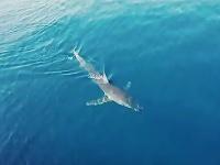 Žralok v Chorvátsku