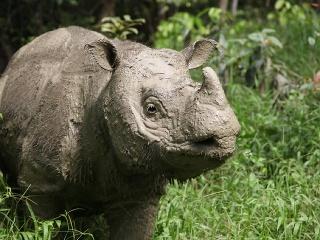 Posledný samec nosorožca sumatrianskeho