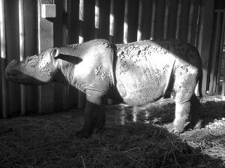 Iman, samička nosorožca sumatrianskeho