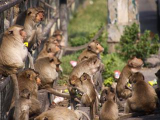Opice v thajskom Lopburi