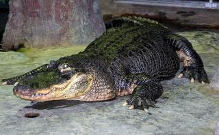Aligátor, ktorý ušiel za