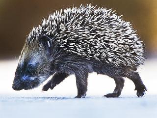 Mladý ježko