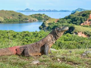 Komodský drak