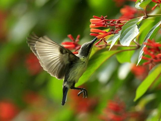 Na snímke samička kolíbríka