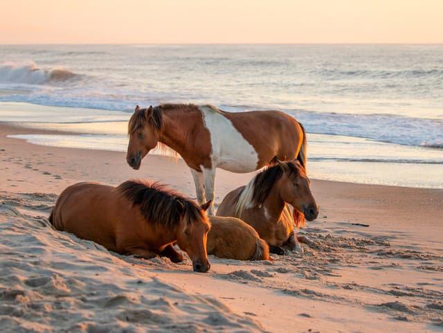 Kone na ostrove Assateague,