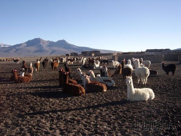 Stádo lám, Bolívia