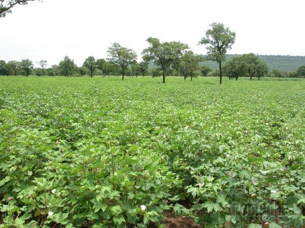 Pole bavlny, Benin