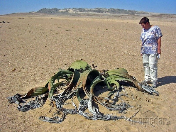 rastlina Welwitschia