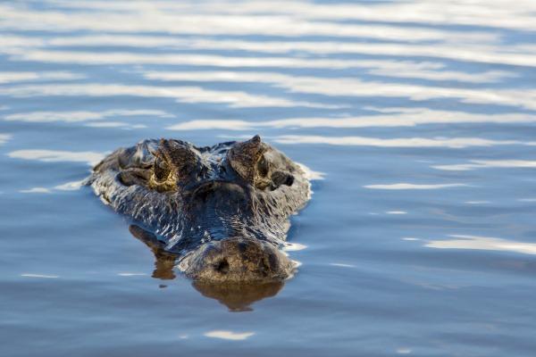 Rieky sa hemžia krokodílmi.