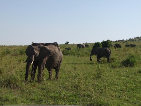 Slony žijú v čriedach,