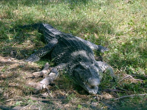 Krokodíl v Ciénaga de