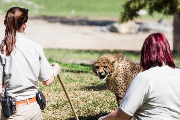 V safari v San