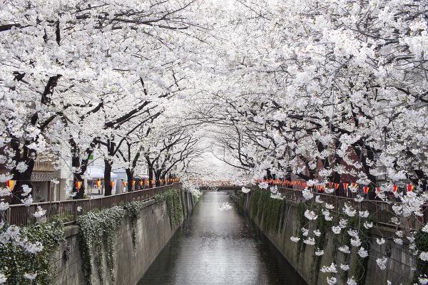 Kvitnutie čerešní, Japonsko