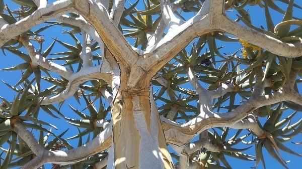 Detail stromu v Namíbii