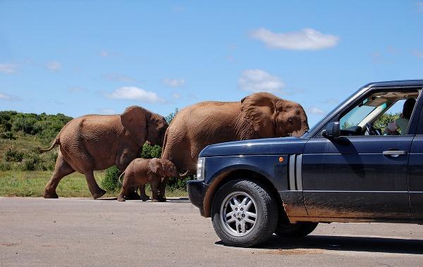 Stoj, daj prednosť slonom.
