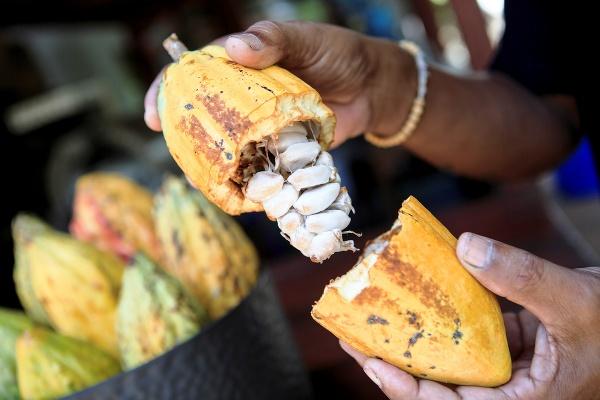 Plod kakaovníka