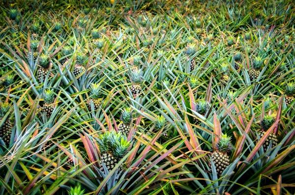 Pole s ananásmi
