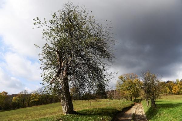 Jabloň z Bošácej je
