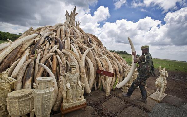 Zhabaná slonovina pred likvidáciou