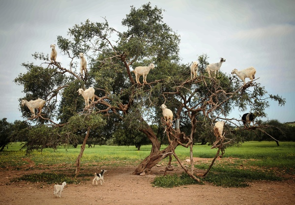Kozy sa pasú na