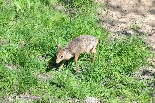 Mláďa antilopy dikdik Kirkov