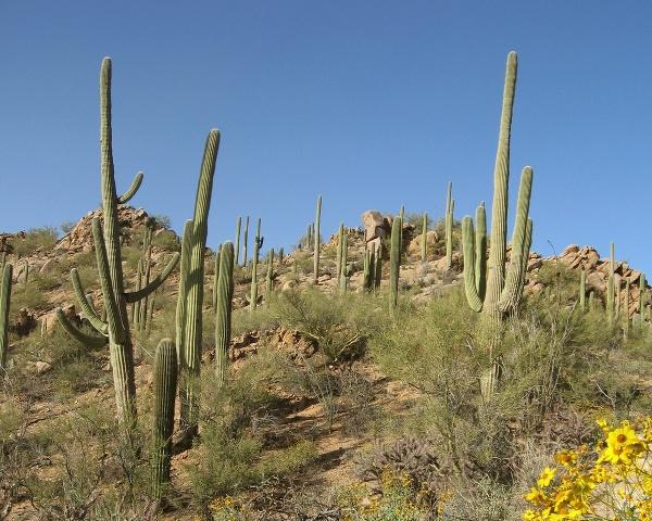 Slávne kaktusy saguaro dostávajú