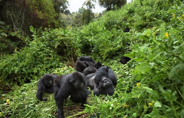 Gorila horská