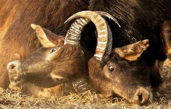 Súťaž Jallikattu (krotenie býkov)
