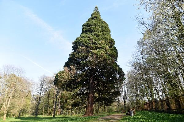 Na snímke strom sekvojovec