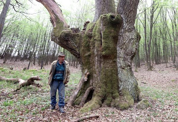 Koháryho dub rastie na