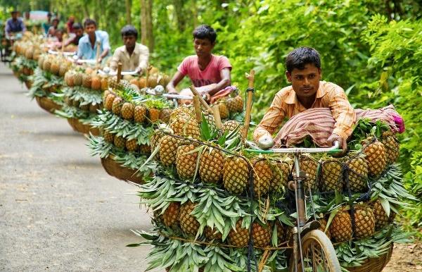 Preprava ananásu na trh
