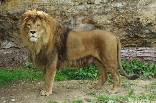 Bojnická ZOO chová leva