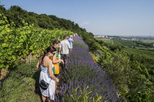 Podujatie Víno a levanduľa
